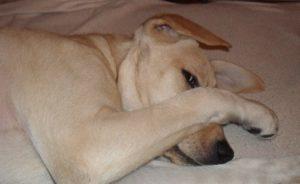 Bild von meinem schläfrigen Hund Stella