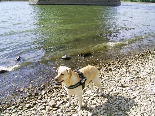 Stella, mein Labrador